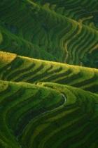 Rice in progress, Guangxi