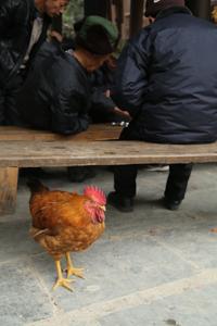 Rooster in Zhaoxing, Guizhou
