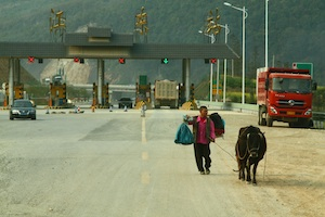 Cow on the highway, Guizhou
