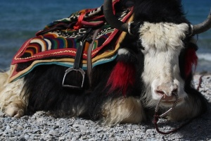 Yak at Lake Nam-tso, Tibet