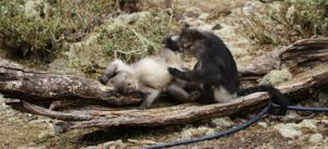 Monkeys Grooming, Yunnan