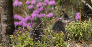 Monkeys & Rhododendrons