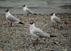 Gulls at Qinghai Lake