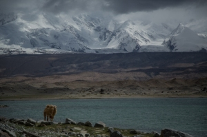 Camel at Lake Karakul