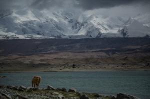Camel at Lake Karakul