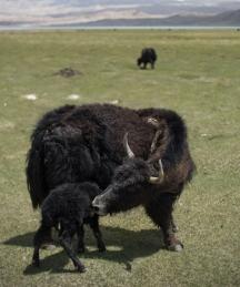 Newborn Yak at Lake Karakul