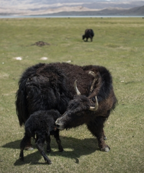 Newborn Yak at Lake Karakul
