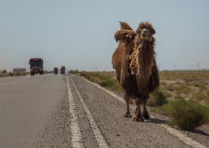 Camel in Qinghai