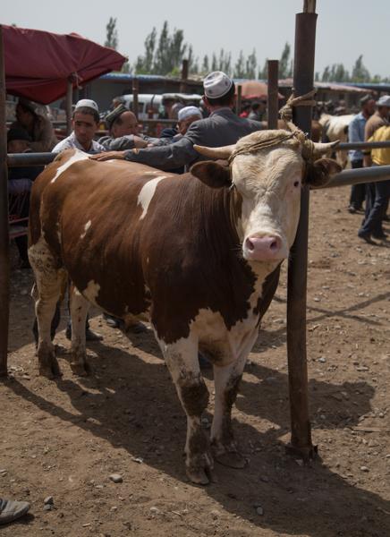 A fine bull, Kashgar Livestock Market