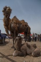 Camel and Mini-Camel, Kashgar Livestock Market
