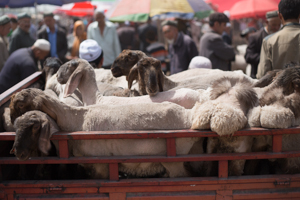Fat-Bottomed Sheep, Kashgar