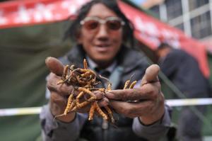 Cordyceps in Qinghai