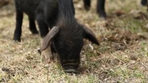 Piglet, Yunnan