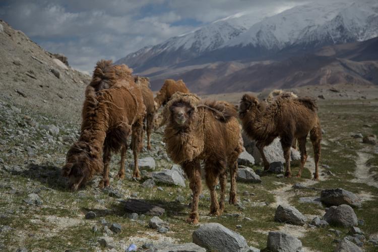 Camels at Lake Karakul