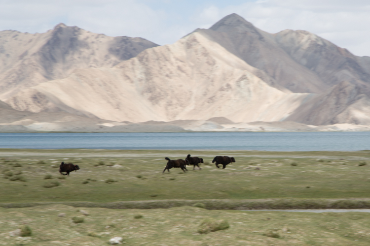 Gambolling Yaks, Karakul