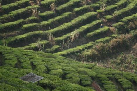Tea plantations, Pu'er, Yunnan © Jo James