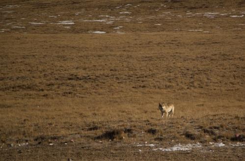 Wolf, Serqu