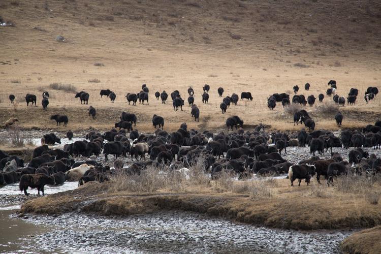Yak herd in retreat © Jo James