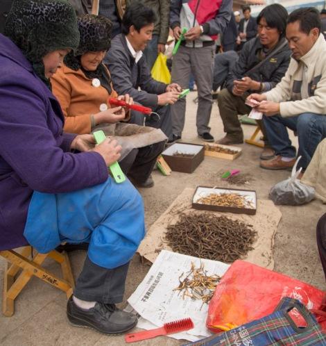 Cleaning Cordyceps, Hezuo, Gansu © Jo James