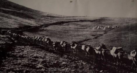 A Qaidam camel caravan in the 1950s