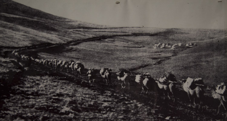 A Qaidam camel caravan in the 1950s