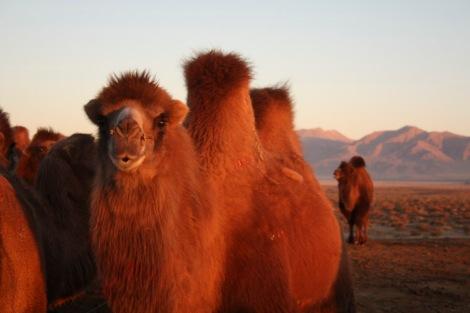 Camels at dawn, Qinghai © Jo James