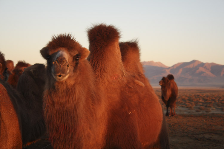Camels at dawn, Qinghai © Jo James