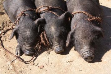 This little piggie went to market, Yuanyang © Jo James