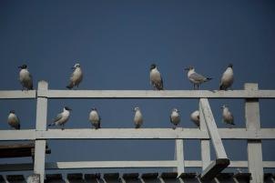 Seagulls, Shwemizu