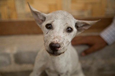 Rescue dog, Shwebo