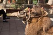 Camel, Kashgar