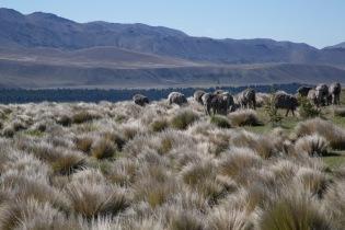 Merinos munching, Mount John, New Zealand