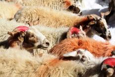 Lamb-pede, Lake Nam-tso in Tibet
