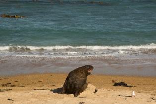 Sea lion, Waipapa