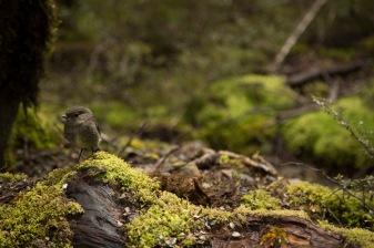 New Zealand robin