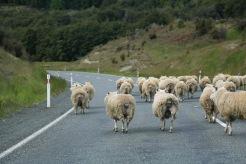 Sheep, NZ
