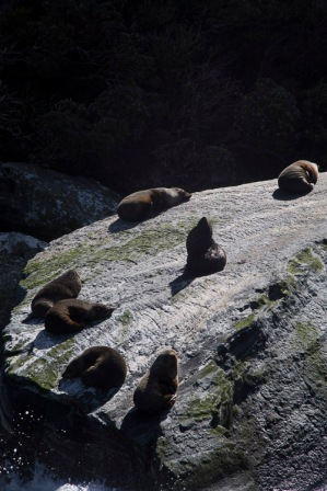 Fur seals, Milford Sound