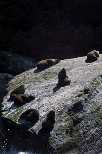 Fur seals, Milford Sound
