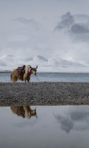 Yak reflected
